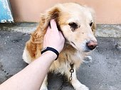 a human hand strokes a sad dog with a chain around his neck. semi-bred golden retriever best friend