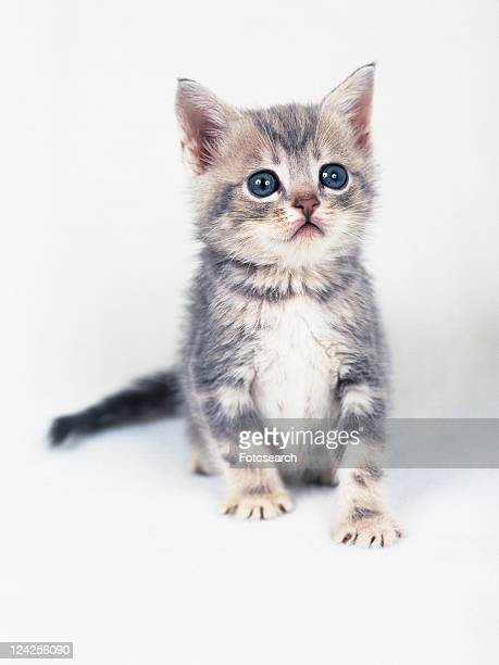 a Kitten On a White Floor, Looking Up, Front View, Differential Focus