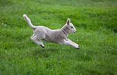 a lamb leaping on the grass