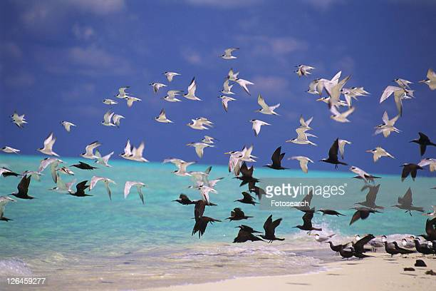 a Large Group of Sea Gulls, Flying Over the Clear, Maldivian Ocean water, Maldives, Micronesia