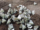a lot of white cabbage butterfly sitting on ground