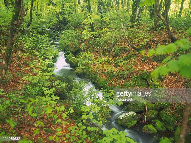 a Mountain Stream In the Middle of a Forest With Beech Trees and Autumn-colored Leaves, High Angle View, Long Exposure, Akita Prefecture, Japan