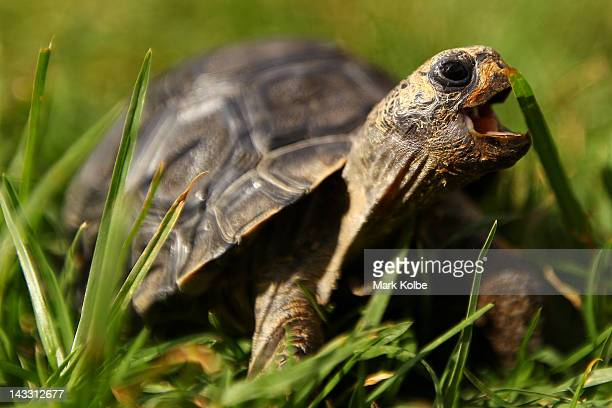 'NJ' a one year old galapagos tortoise eats grass at Taronga Western Plains Zoo on April 20 2012 in Dubbo Australia The popular 35 year old Dubbo zoo...