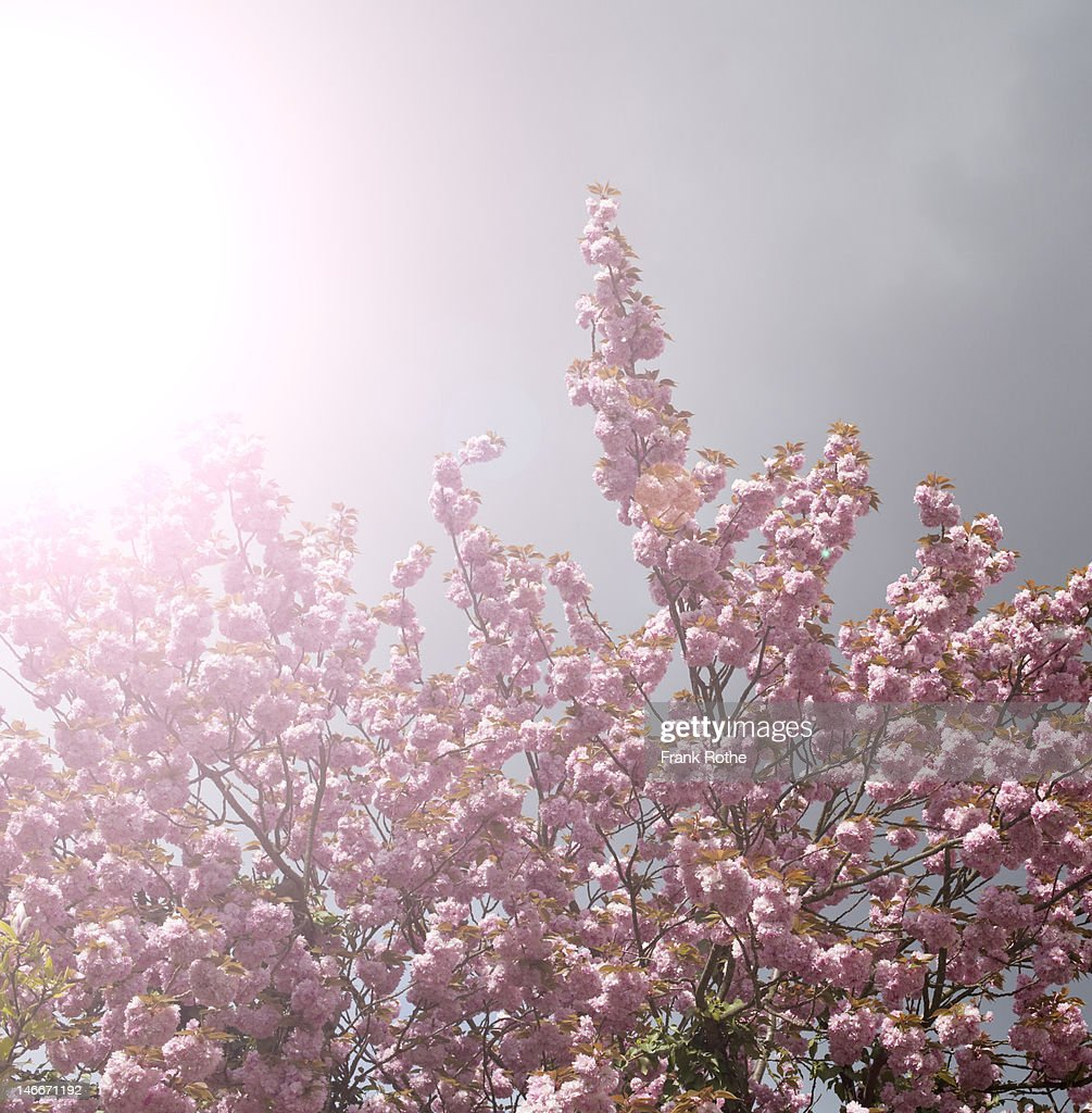 a pink blossoming tree in a fuzzy light : Stock Photo