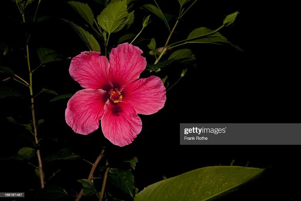 a red big flower with a strong color : Stock Photo