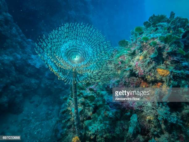 a sea spirograph is seen in its nest on a rockbotton dive site on May 17 2017 near the marine reserve of Cinque Terre UNESCO Heritage