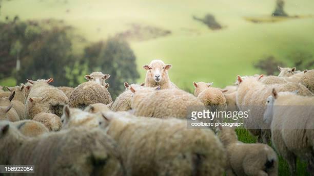 a sheep staring at camera
