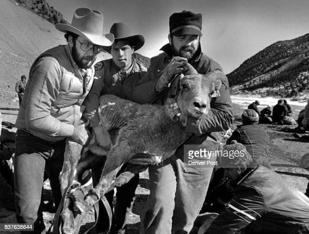 MAR 4 1987 a sheep that is to be transplanted is carried to a horse trailer These sheep are going to the White River National Forest area other sheep...