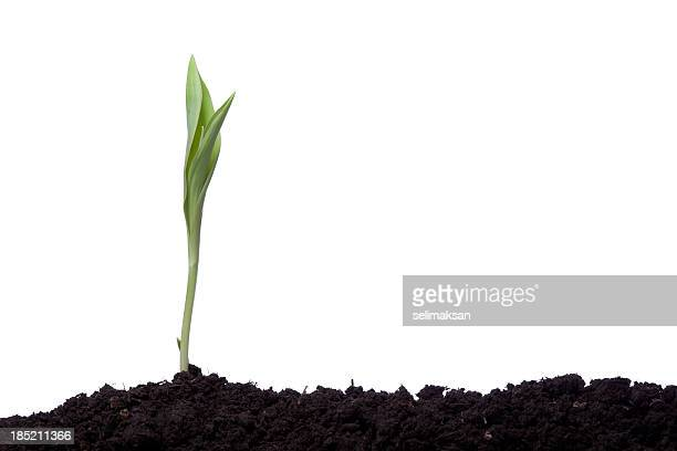 a single tulip planted in silhouette in brown earth
