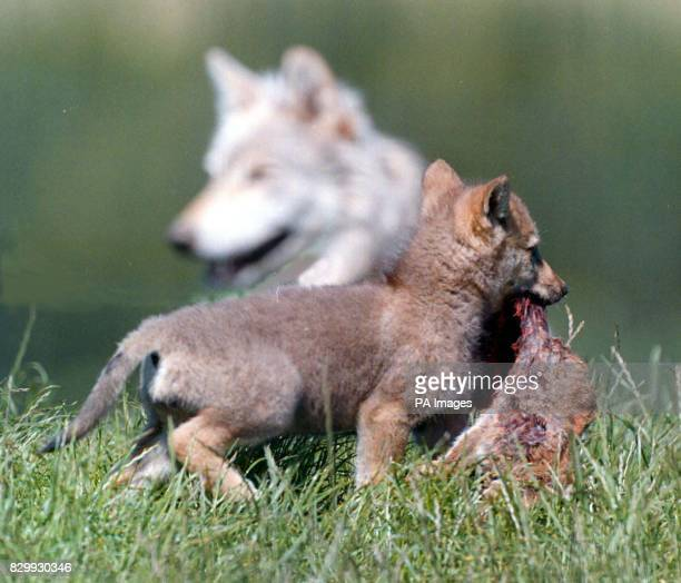 A a six week old wolf cub bringing in dinner under the watchful eye of his mother The cub one of three was born around the 11th of May at the...
