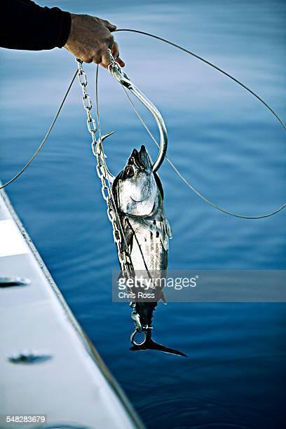 a skip jack tuna is used as bait for white shark hook