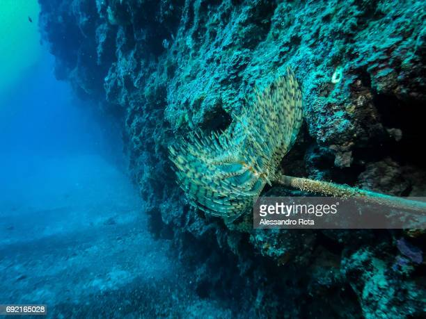 a spirograph tube worm is seen on a rockbotton dive site on May 21 2017 outside Bonassola Liguria Italy near the Unesco heritage and Natural Park of...