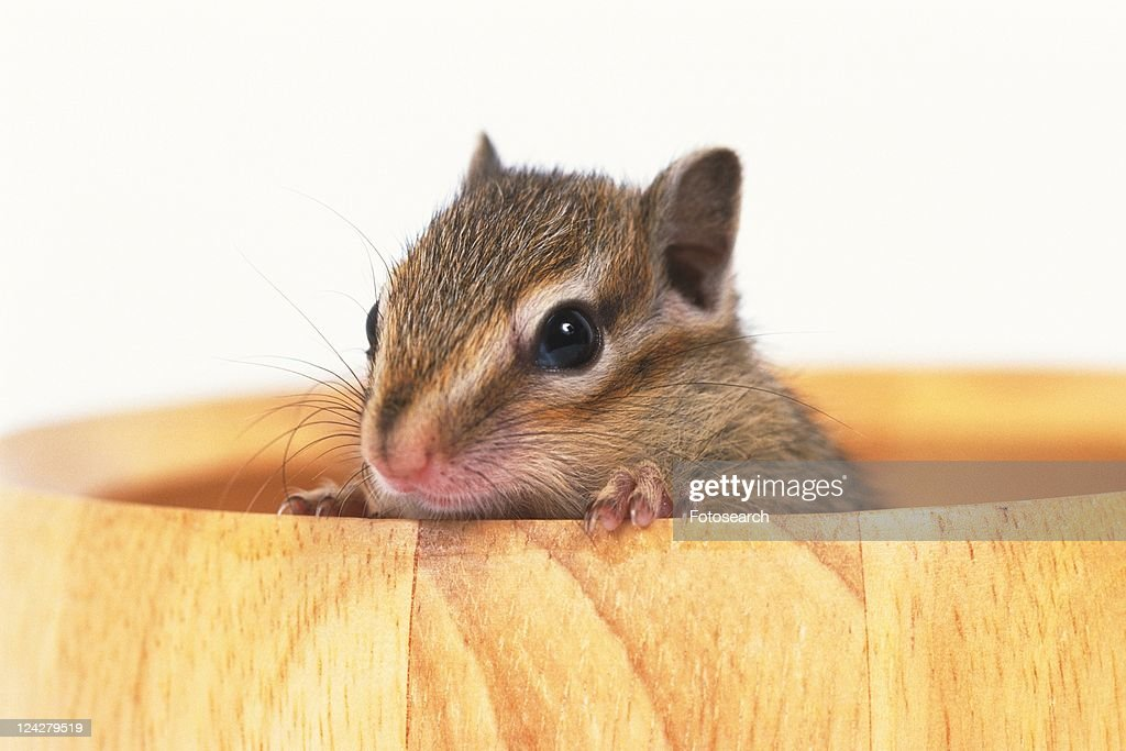 a Squirrel Looking Out of a Wooden Cup, Front View, Differential Focus : Stock Photo