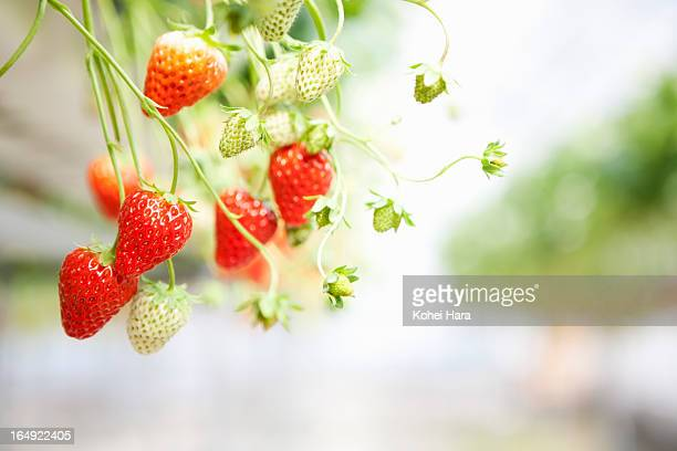 a strawberry field