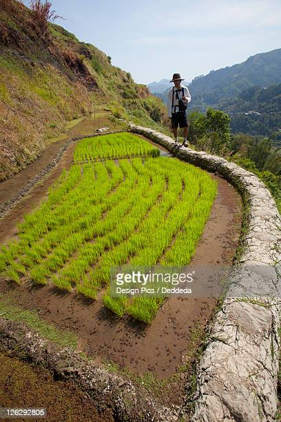 a tourist walks along the famous mud-walled rice terraces in the cordillera region near banaue