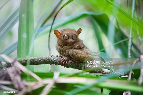 a wild tarsier (tarsius) sits on a branch of a tree at the tarsier research and development center