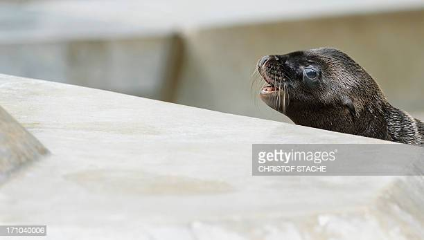 a young sea lion plays in his enclosure at the zoo in Munich southern Germany on June 21 2013 Four young sea lions were born in the months of May and...