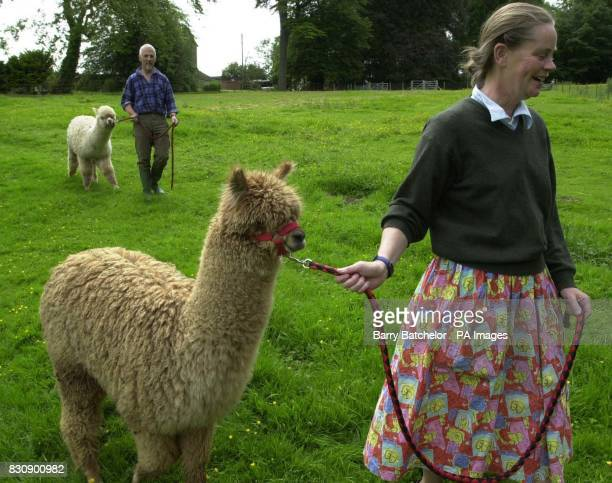 Aalter training for Huacaya Alpacas by Ben Harford and his wife who lives near WottonunderEdge Gloucestershire When investment banker Harford decided...