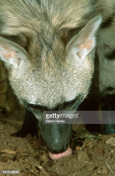 Aardwolf Feeding on Harvester Termites