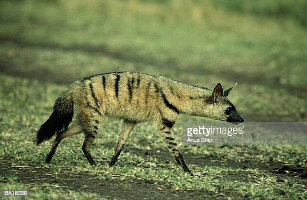 Aard-Wolf (Proteles cristatus)