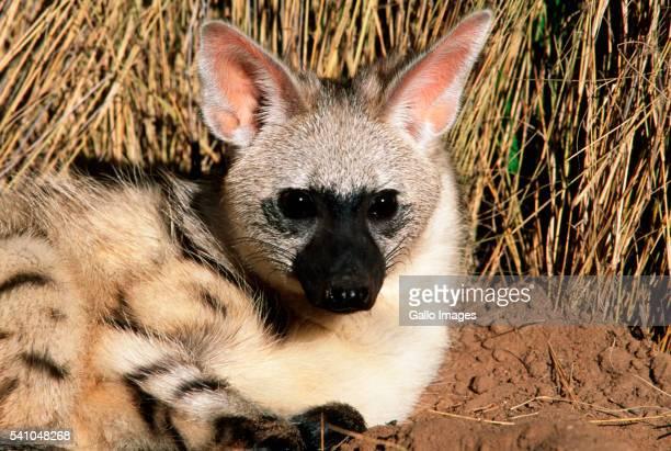Aardwolf Seated in Bush