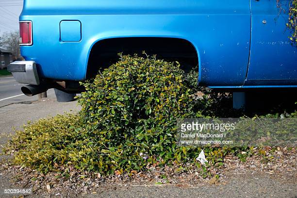 Abandoned blue truck being overgrown by a vigorous climbing vine