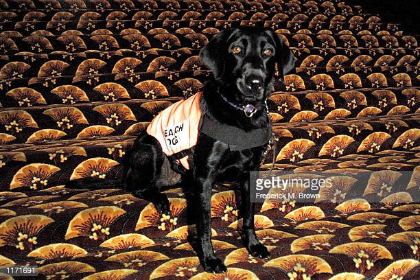 Abby a Black Labrador Retriever search dog poses at a ceremony honoring search and rescue dogs at the Pet Art 3 Exhibit October 21 2001 in Los...