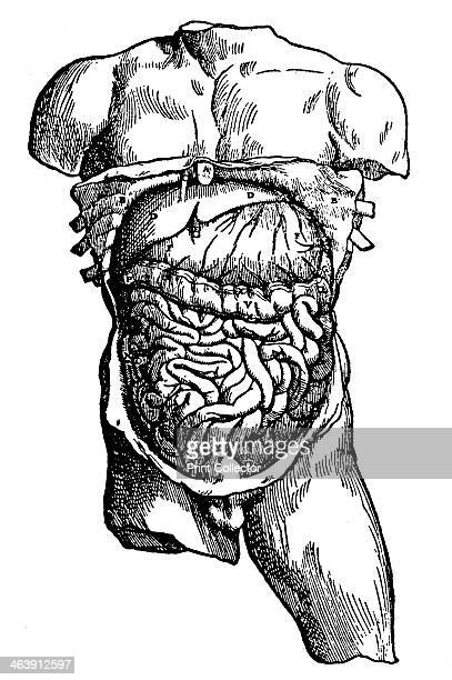 Abdominal cavity and its contents 1543 From De humani corporis fabrica by Andreas Vesalius