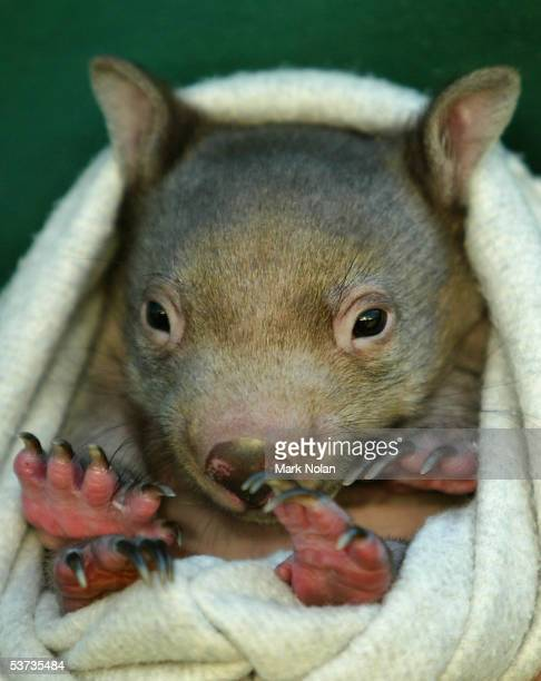 'Abdul' a baby Common Wombat is one of the marsupials on show during the spring baby boom at Taronga Zoo September 1 2005 in Sydney Australia 'Abdul'...