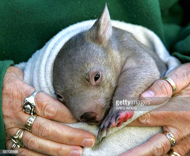 'Abdul' a Common Wombat orphaned after his mother was killed by a car rests in the hands of a keeper at Sydney's Taronga Zoo 01 September 2005 The...