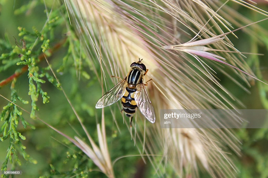 Abeja y espiga de trigo : Stock Photo