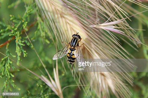 Abeja y espiga de trigo : Stock Photo