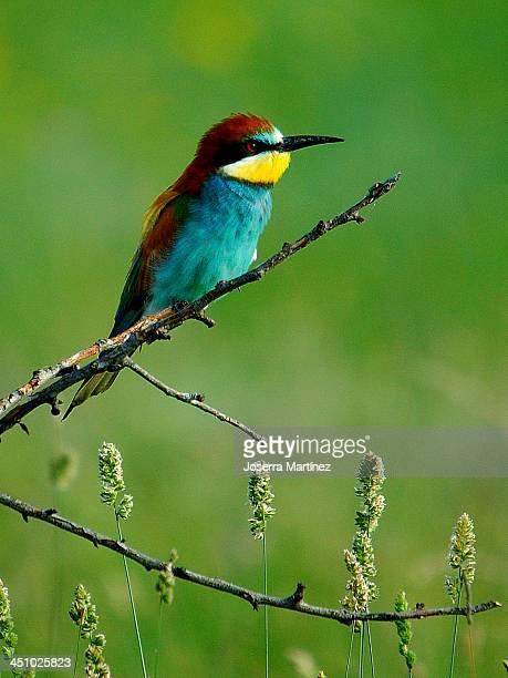 Abejaruco - european bee-eater