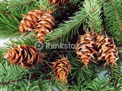 Abies Concolor With Cones Stock Photo Thinkstock