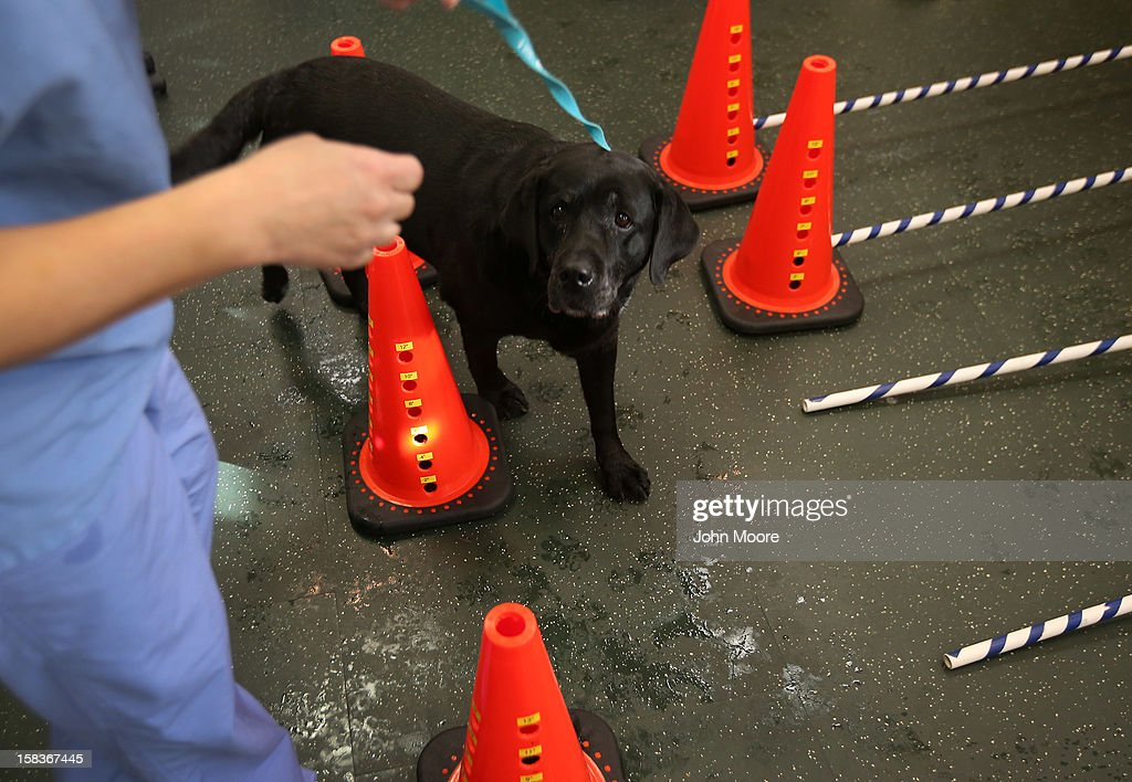 Abigail, a labrador belonging to Nancy and Henry Kissinger, walks through cones during a physical therapy session at the Animal Medical Center on December 12, 2012 in New York City. The non-profit Animal Medical Center, established in 1910, has 80 veterinarians in 17 specialty services that treat up to 40,000 animal visits annually. Clients bring in their pets from around the country and world to the teaching hospital on Manhattan's Upper East Side for specialized high tech treatment. The American Pet Products Association estimates that Americans would spend more than $50 billion on their pets in 2012, $14 billion of that in veterinary care alone.