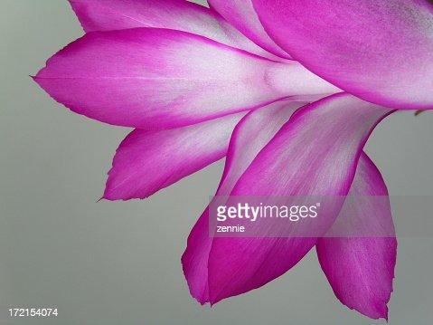 Ablooming Cactus Flower