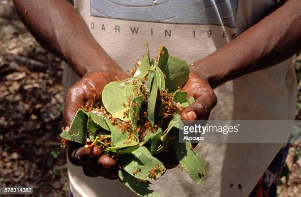 Aboriginal medicinal use of plants squashed nest leaves of green ants are soaked in water for use against colds Top End Northern Territory Australia