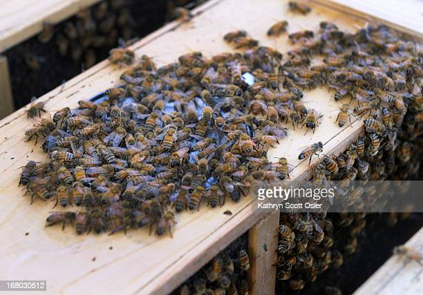 About 300 backyard beekeepers are on hand to pick up their package bees from Apis Hive Co out of Grand Junction CO Each package contains about 10000...