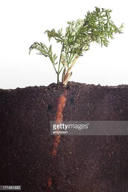 Au-dessus et en dessous de carotte