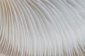 abstract background macro image of mushroom, Sajor-caju Mushroom