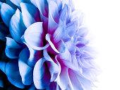 Close- up of a blue dahlia flower