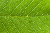 Stunning repeated pattern on a green leaf, with intricate veins, color and structure.
