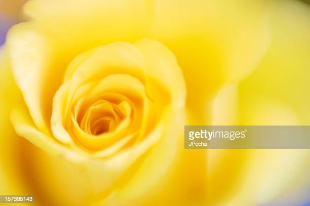 Abstract Defocussed Yellow Rose