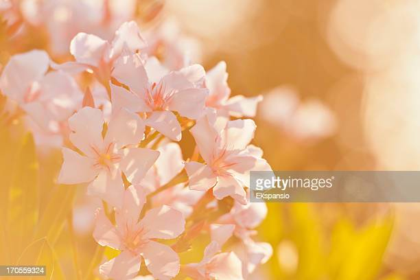 Abstract Flared Soft Light Summer Oleander Flower Closeup with Background