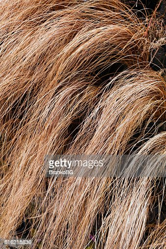 abstract long dry grass : Stock Photo