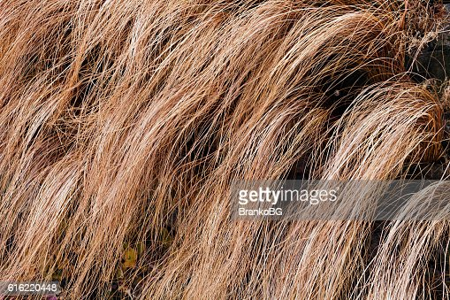 abstract long dry grass : Stockfoto