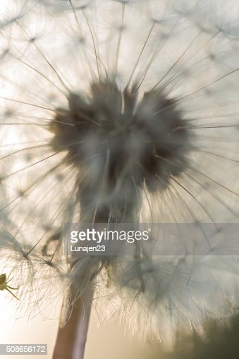 Abstract of Dandelion Puff : Stock Photo