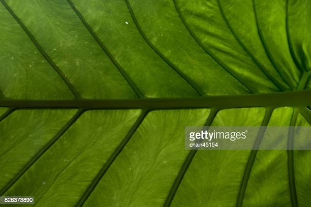 Abstract of green leaf is show in texture and pattern of line for background.