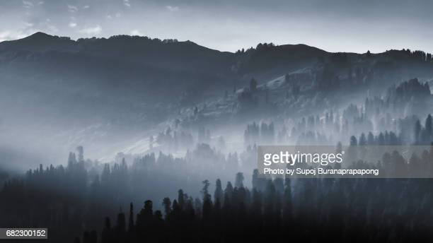 Abstract Pine tree forest with sunlight with morning fog