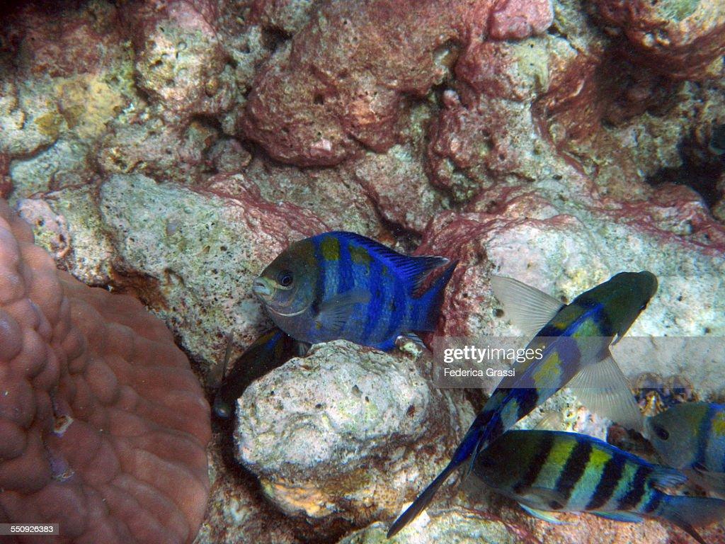 Abudefduf saxatilis - Sergeant Major Fish
